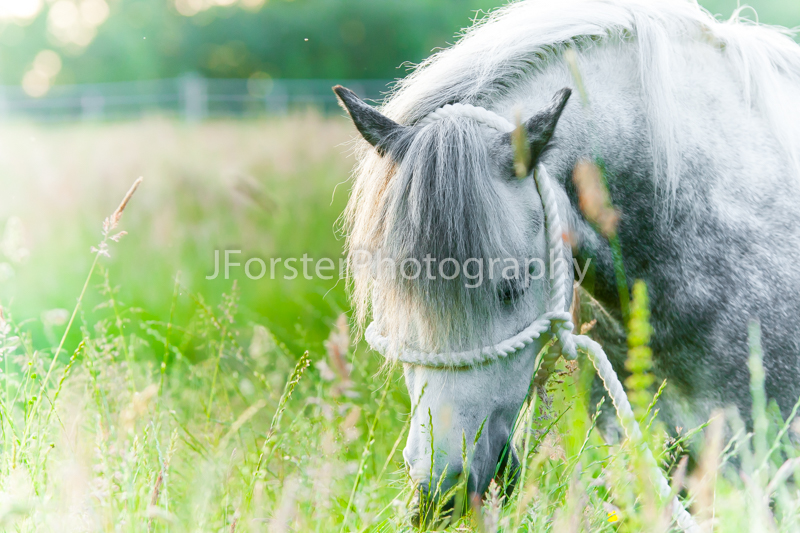 Native Pony in the grass. Welsh Section A